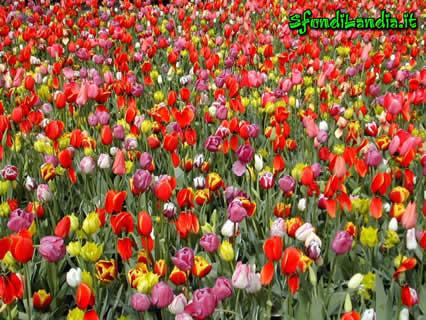 Invia tulipani come cartolina su facebook e whatsapp for Sfondilandia primavera