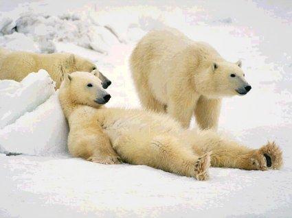 poltrona, comoda, di ghiaccio, mamma, figlio, papà, bear