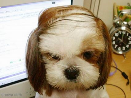 cane, riporto, capelli, ciuffi, pelato