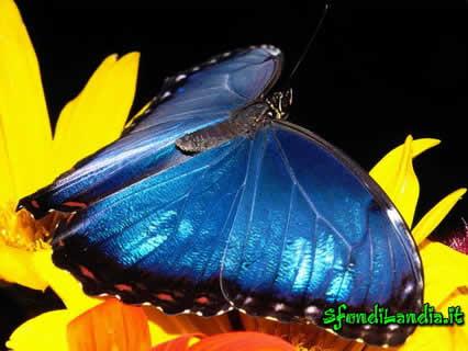farfalla, ali, blu, blue, fiori, lepidottero, volare, bellezza