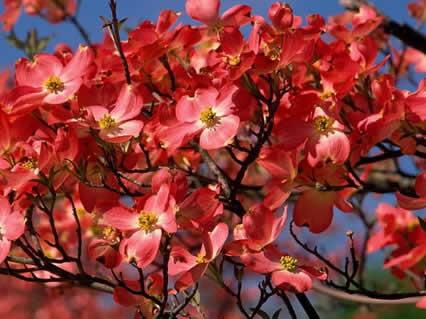 fiori, natura, profumo, alberi, ramoscelli, carichi, reggere, tenere, trattenere, far, nascere, spuntare, frutta, peso, spezzare, rametto, sottile