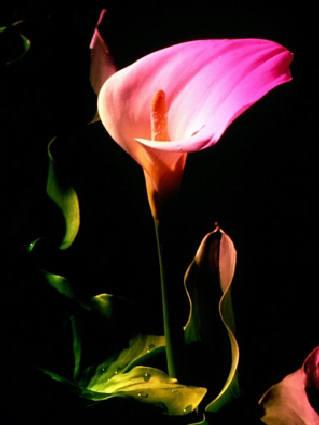 calla, lotta, luce, colori, buio, oscuro, lampo, visione, purezza, perfezione