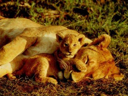 leonessa, leoncino, tenerezze, trenquillità, serenità, amore, materno, sicurezza, piccolo