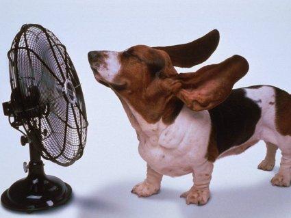 ventilatore, bassotto, orecchie, caldo, afa, vento