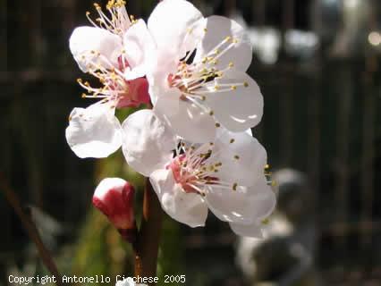 firoi, primavera, albicocco, colori, profumi, albicocche