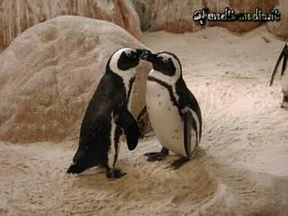 cartoline con baci, becco contro, amore tra animali, nero bianco, maschio, femmina