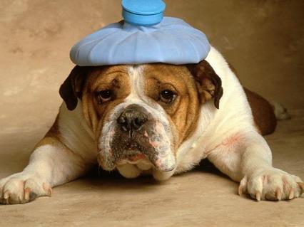 cane, febbre, bulldog, pazze, divertenti