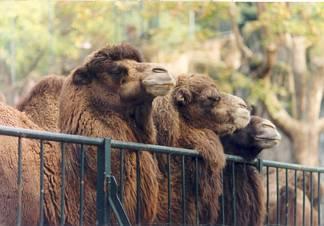 curiosità, impiccioni, spettatori, attrazione, tre, gobba, camelidi, grata, gabbia, parco, zoologico