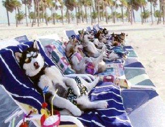 cane, cani, husky attori, star, riposo, spiaggia, mare, cocktail, sdraio, ombrelloni, occhiali da sole