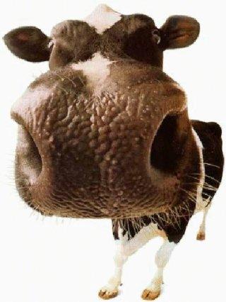 mucca, naso, gigante, annusatina, annusare, bacio, umido, olfatto, profumi, puzza, puzze