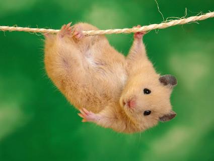 criceto, fune, arrampicarsi, equilibrista, affetto, sprezzante, pericolo