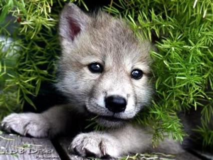 piccolo, branco, feroce, gioco, lupi, sguardo