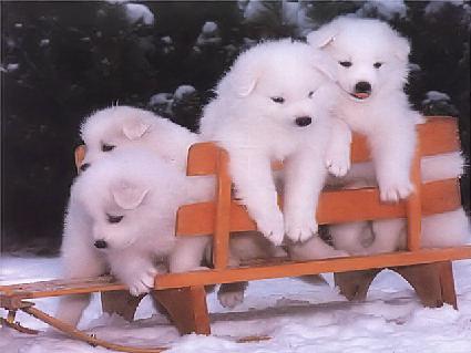 cuccioli, crescere, diventare, cane, slittino, tirare, neve, freddo, vianco, bianchi, tenerezza, sfondo, cellulare