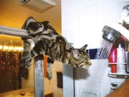 sete, gatto, doccia, bere, bevanda, pazza, divertente, micio, acqua
