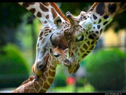 genitori, figli, cuccioli, giraffe, collo, affetto