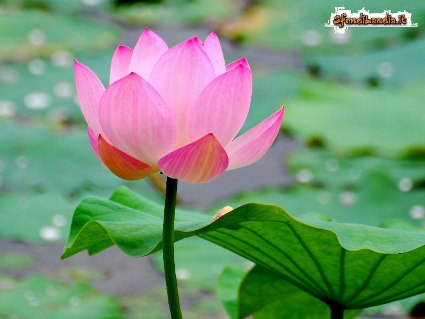 fiori, stagione, colori, petali, acqua