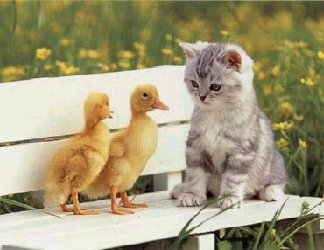 gatto,pulcino,amicizia, affetto, amici, compagni, cuccioli