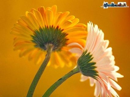 fiore, sole, colori, petali, fusto, crescita