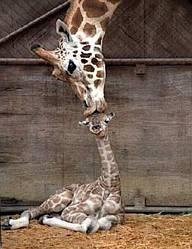 giraffa, bacio, testa, mamma, figlio, succhiotto