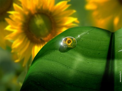 girasole, acqua, goccia, foglia, seguire, movimento, sole, rotazione, olio, semi, piantagione