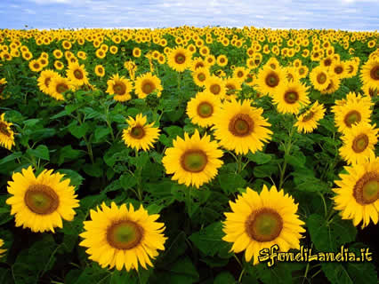 girasoli, prato, fiori, giallo, girasole, sole, campagna