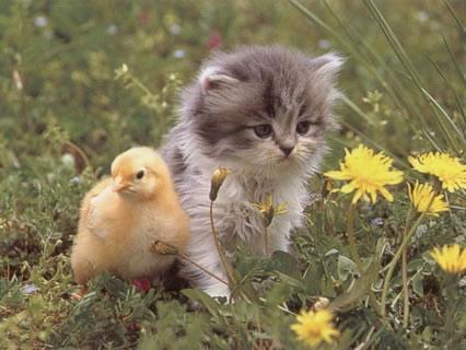 amicizia, animali, cuccioli, gatto, pulcino, affetto