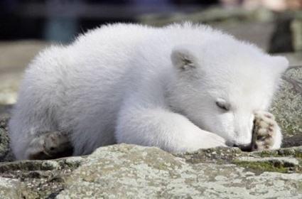 berlino, piccolo, rischio morte, orso polare, tenero, affetto, commercio, speculare, prima uscita, fan, calore