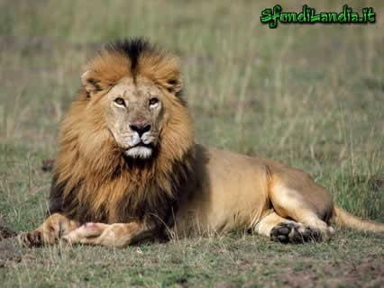 leone, riposo, savana, sole, caldo, africa, criniera