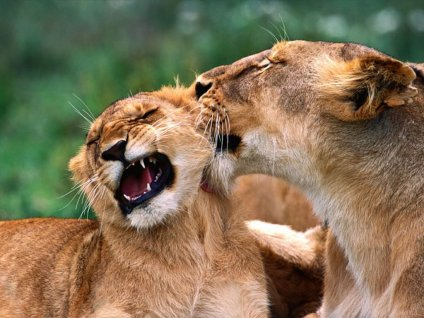 amore, senso, unico, mancanza, slancio, femmina, maschio, diverso, comportamento, felini