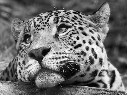 leopardi, bianco nero, foto, emozione, animali, felini, sguardi