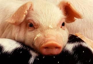 maiale, maialino, stanchezza, riposo, amici, cucciolo, porcello