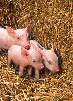 maiale, cuccioli, porcellini, maialini, fratelli