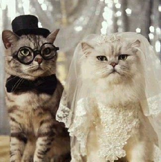 cartoline matrimonio, gatto, sposo, nuziale, abito, bianco, cerimonia, organo, suonare, occhiali buffi, testimoni, velo