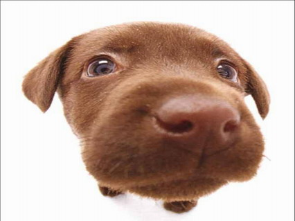 buffo, muso, cane, musi, naso, rosso, occhioni, tenerezza