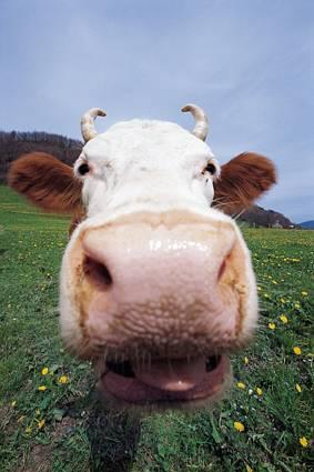 baciare, lingua, primo, piano, corna, ricurve, mucca, pascolo, occhioni, orecchie, marroni, castane