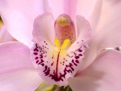 fiore, simbolo, sensualità, eleganza, nome, mito, greco, onnipotenza, Orchis, ucciso, moira, violentare, sacerdotessa, bacco, resti, nasce, pianti