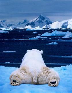 orso, distesa, ghiacci, polo, nord, sud, spalle, pancia, fresco