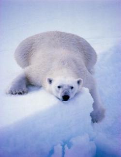orso, ghiaccio, orso polare, neve, scivolate