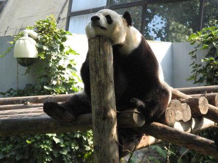 panda, pelosotto, amorevole, curioso, stanco, relax, riposo, fatiche