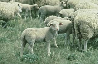 pecora, pascolo, transumanza, pastore, lana