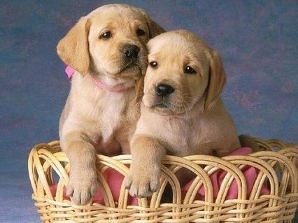 cani, cuccioli, labrador, cagnolini, teneri, animali