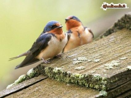 uccelli, arrivo, freddo, temperature, autunno, puntura, rosa spina