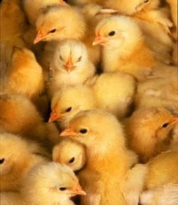 mille, nuove, nascite, gialli, pigolare, pigola, verso, imbeccare, imboccare