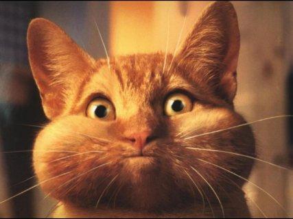 gatto, rosso, roscio, guance, gonfie, soffiare, soffio, vento, fischio, insofferenza