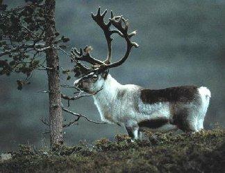 mito, animale, associazione, natale, regali, trasporto, regali, renne