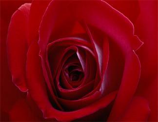 finta, plastica, petali, foto, ingrandimento, vicino, cuore, simbolo, amore