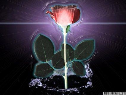 rosa, rossa, luce, acqua, rugiada, foglie, striatura, vene, venature