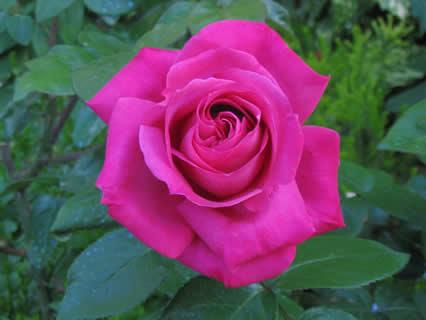 porpora, rosa, acceso, colore, vivo, fiori, profumo