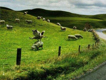lupo, pecore, divertente, strana, animali, salto, cavallina, giochi, gioco, divertimento