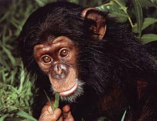 scimpanze, ominidi, pasto, foglie, arbusto, grandi, orecchie